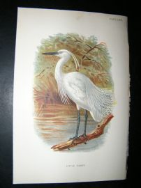 Allen 1890's Antique Bird Print. Little Egret